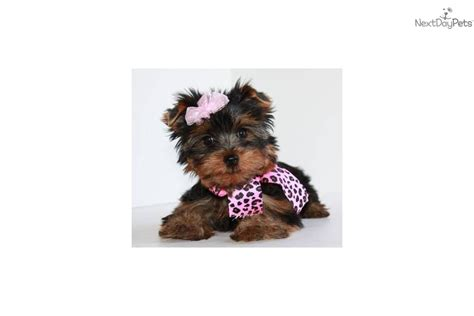 free teacup yorkies puppies terrier yorkie puppy for sale near springfield missouri 34dac67c 73c1