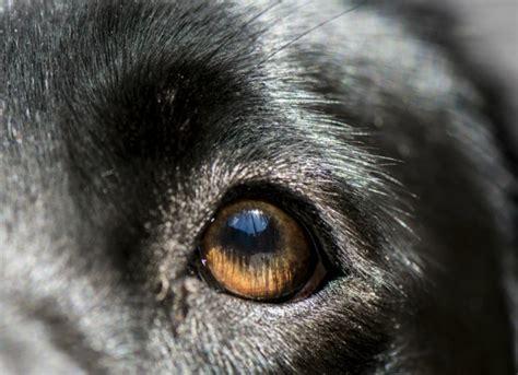 blepharitis in dogs eye inflammation blepharitis in dogs petmd
