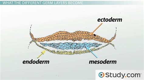 Resume Teacher Job by Gastrulation And The 3 Germ Layers Ectoderm Endoderm