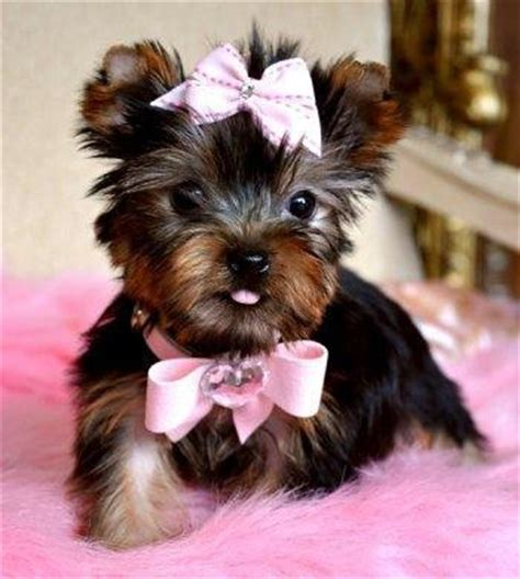 yorkies with bows teacup yorkie bows for dogs bows for cats