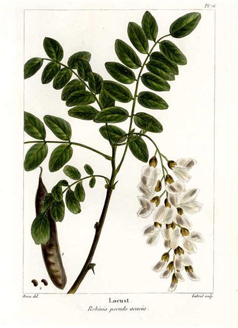 acacia fiore robinia una utile invadente