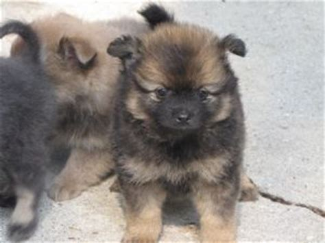 pomeranian puppies for sale in louisiana pomeranian puppies in louisiana