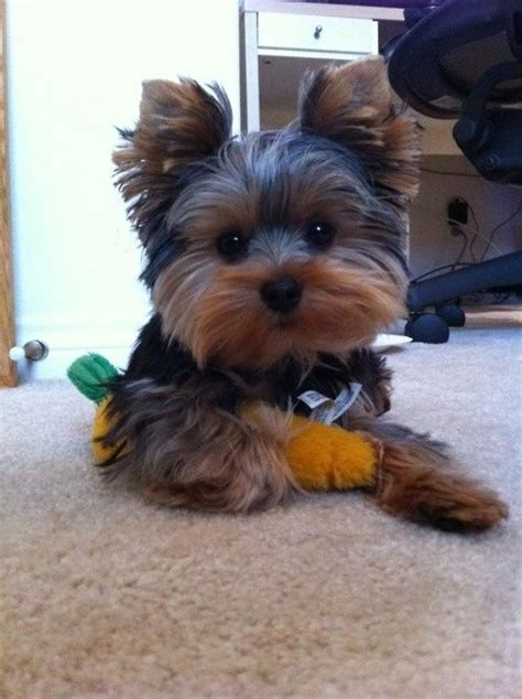 can yorkies eat carrots 25 best ideas about top 10 cutest animals on a puppy picture of puppies