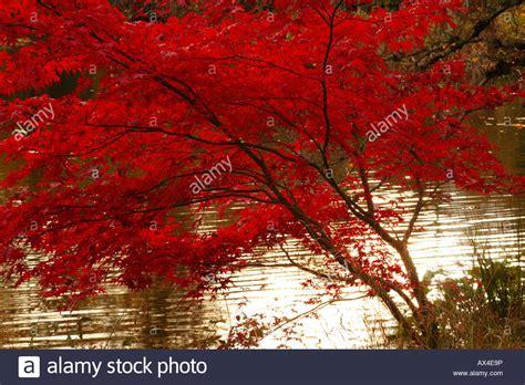 Roter Fächer Ahorn 1644 by Acer Palmatum Bloodgood Japanischer Ahorn Neben Einem