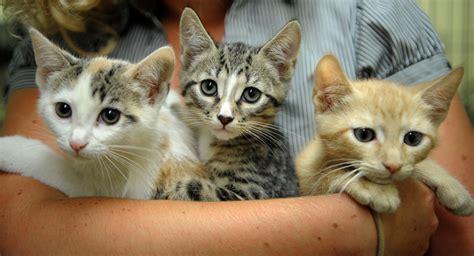 Litter Of Kitties by Found A Litter Of Kittens Now What Tribunedigital