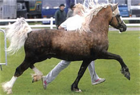 welsh cob section c omg welsh cobs are amazing i never knew can
