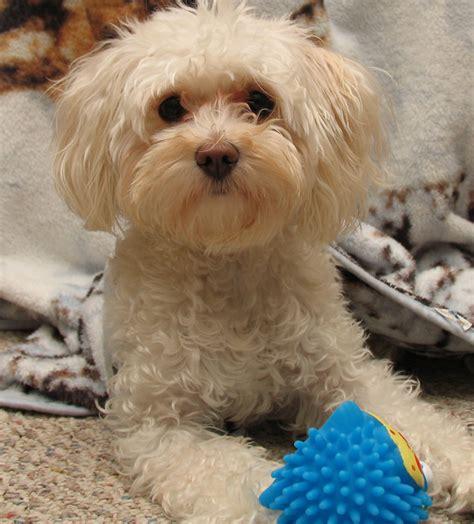 bichon frise show cut bichon frise puppies for sale dog