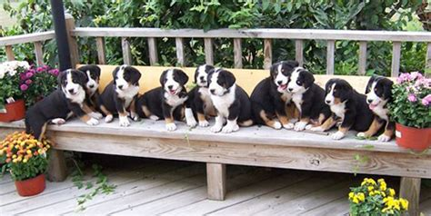 puppy bench how to find a good dog breeder by using the canine care
