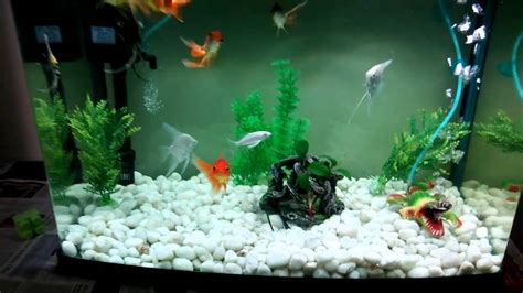 home aquarium  gold fish angel fish carps youtube