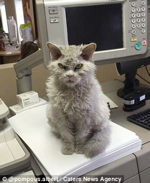 meet pompous albert, a frowning cat with 44.1k instagram