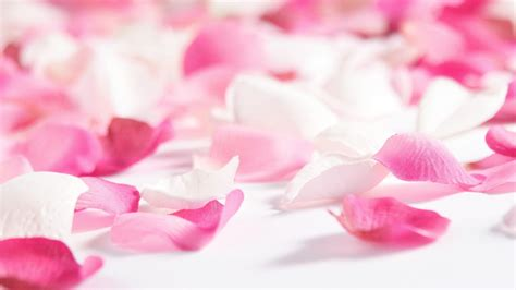 Pink Petals Flowers Petals Wallpapers Hd Pictures One Hd