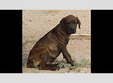 Rottweiler Cane Corso Mix Related Keywords Suggestions Long Tail