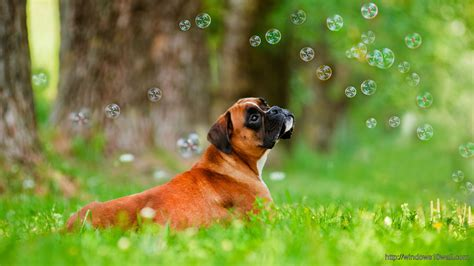 where can i find free puppies in my area beautiful dogs hd wallpapers my free wallpapers hub