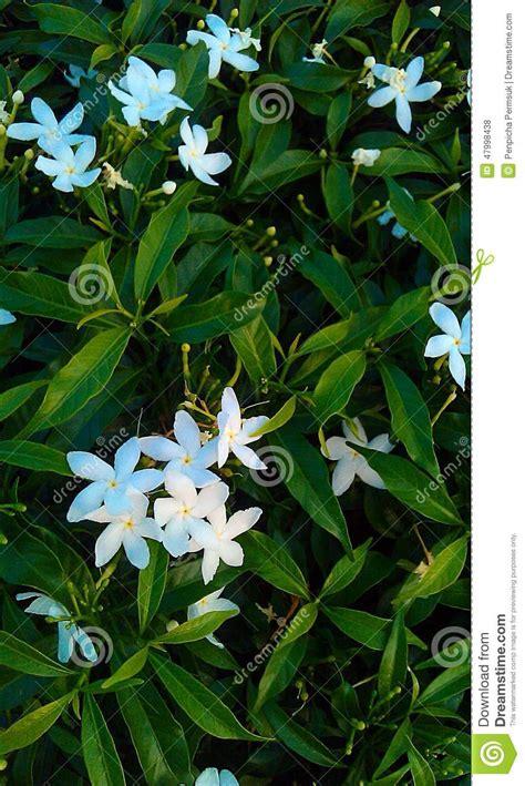 fiori di gardenia bei fiori di gardenia fotografia stock immagine di