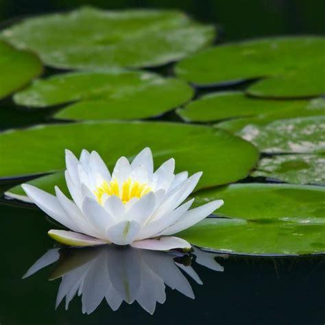 buy water lily nymphaea marliacea albida  delivery