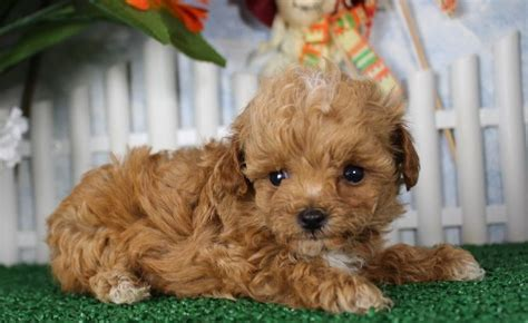 apricot havanese 1000 ideas about cockapoo on cockapoo puppies cockapoo breeders and