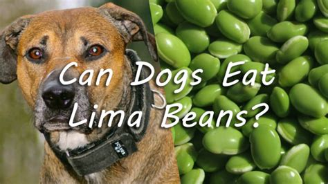 can dogs beans can dogs eat lima beans pet consider