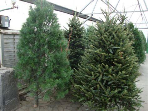 christmas trees minot