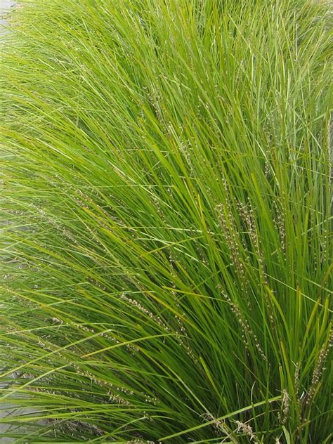oderings garden centres shrub lomandra tanika