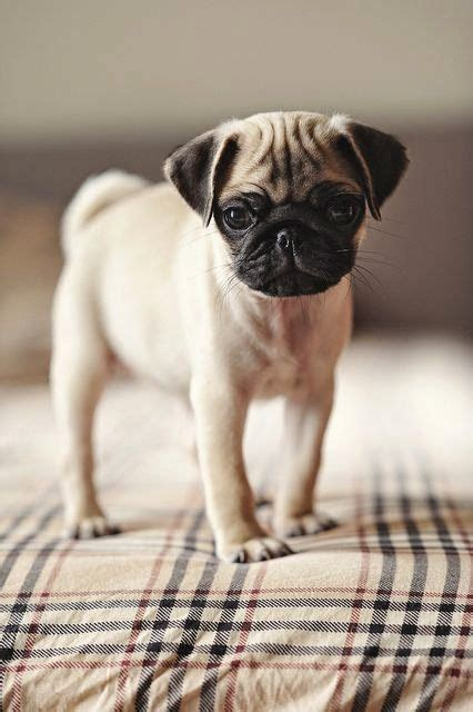 pug eye pop out pugs fall out breeds picture