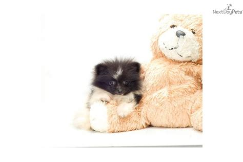 teacup pomeranian for sale montreal affectionate teacup pomeranian puppies to offer free adoption offer breeds picture