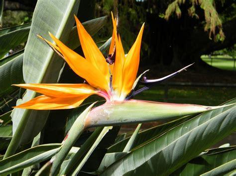 bird paradise flower how to help bird of paradise flower bloom