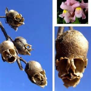 snapdragon tattoo snapdragon flowers when dry look like skulls weird amp awesome science nature animals