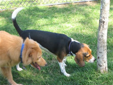 bench leg beagle life with beagle lulu the beagle checks out dr phillips