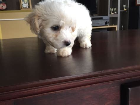 puppies for less teacup maltese puppies clasf