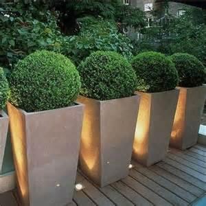 globe boxwoods in planters for my backyard juxtapost