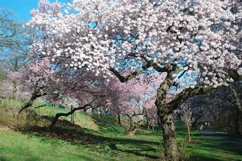 fiori alberi da frutto alberi da frutto gi 224 in fiore timori per un eventuale