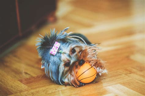 yorkie puppy facts yorkie yorkie puppies terrier puppies yorkie terrier breeds picture