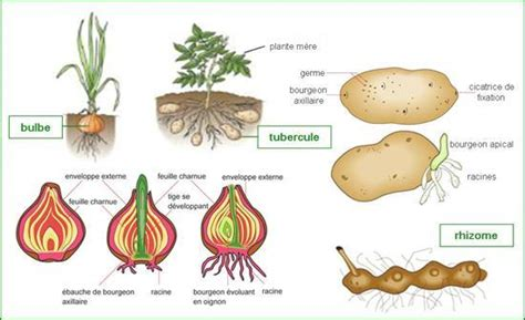 exles of vegetative propagation by roots asexual reproduction studyblue