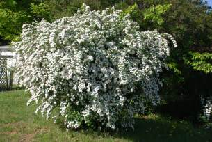 Landscape shrubs rarely damaged by deer what grows there hugh
