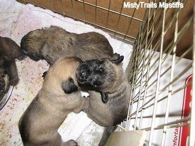 feeding puppies 3 weeks puppies at 3 weeks whelping and raising puppies