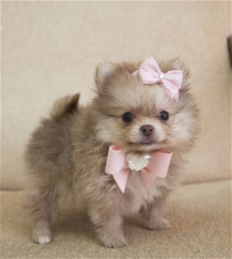chocolate teacup pomeranian teacup chocolate pomeranian princess she fits in the palm of your