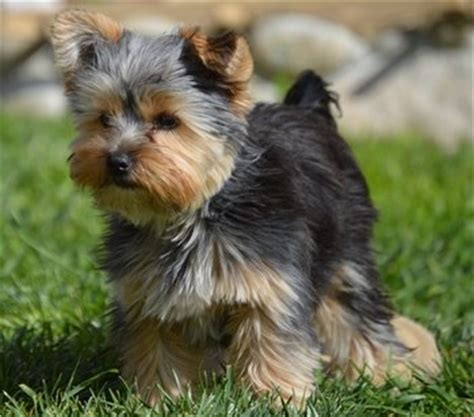 do teacup yorkies bark a lot 15 best teacup breeds and what you must about them
