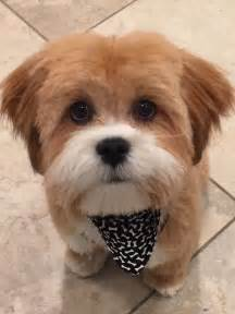 hair cut shih tzu snd poodle best 20 dog haircuts ideas on pinterest maltese haircut