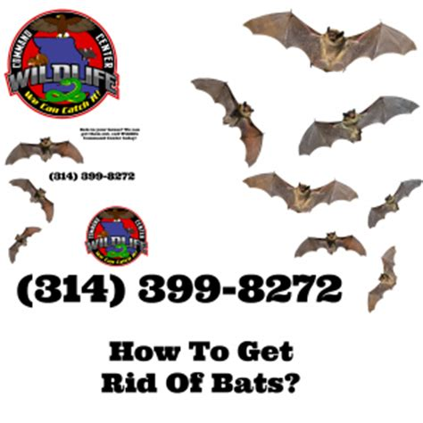 How Do You Get Rid Of Bats In Your Backyard by How To Get Rid Of Bats Wildlife Command Center Mo