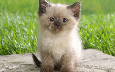 cute cat wallpaper zedge himalayan kitten wallpaper 692270
