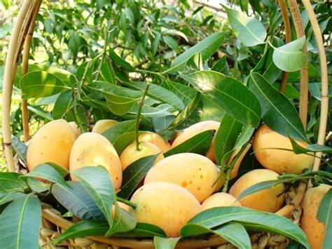 Buah Plum gardenseed buah kundang mango plum mini mango ma phrang bouea macrophylla griff