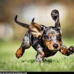 tri color dachshund tri color dapple dachshund puppy animals