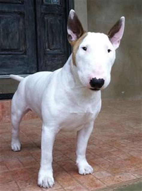 bull terrier miniature the life of animals 1000 images about bull terrier レ o 乇 on pinterest