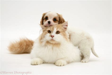 and cats pets cavalier puppy and cat photo wp26882