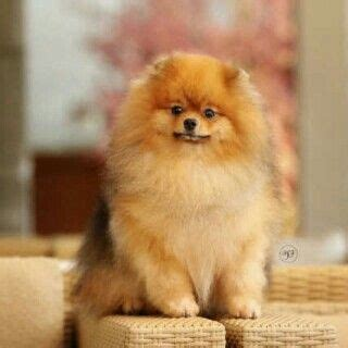 pomeranian hair falling out 1000 images about pomeranians on pomeranian puppy pomeranian dogs and