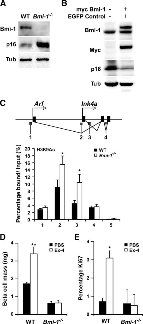 regeneration patterns and persistence of the fog dependent age dependent decline in β cell proliferation restricts