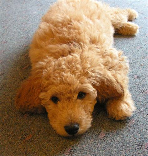 poodle doodle puppies for sale the goldendoodle golden retriever poodle oh my