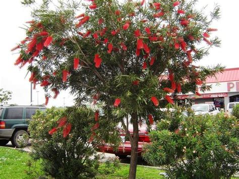 Trees That Do Not Shed Leaves by 36 Best Images About Callistemon Tree On