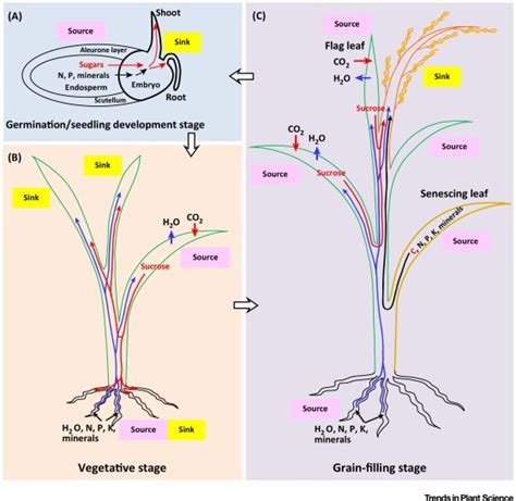 xylem carbohydrates plant xylem and phloem diagram related keywords