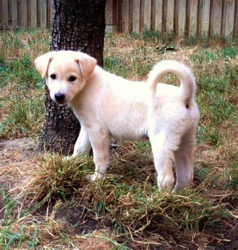 canaan breeders canaan puppies photos puppies photos